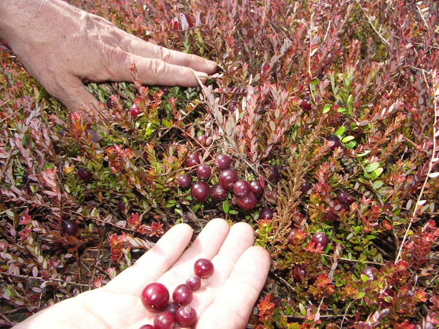Брусника в саду выращивание 56